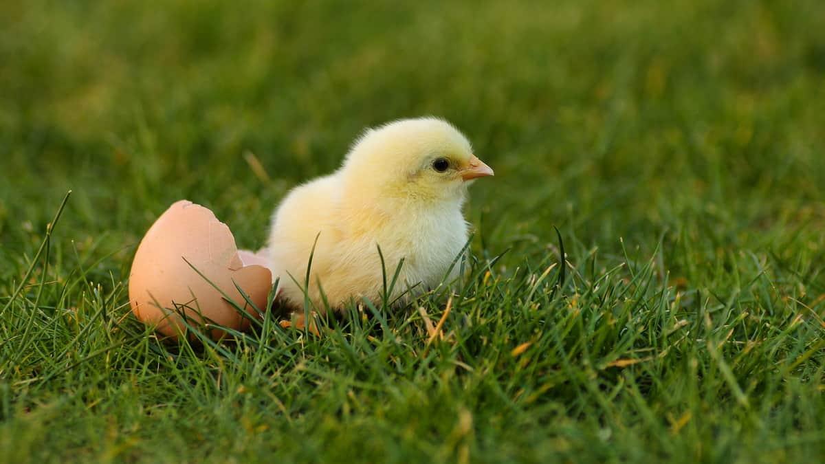 Žuto pile se izleglo iz jajeta i leži na travi