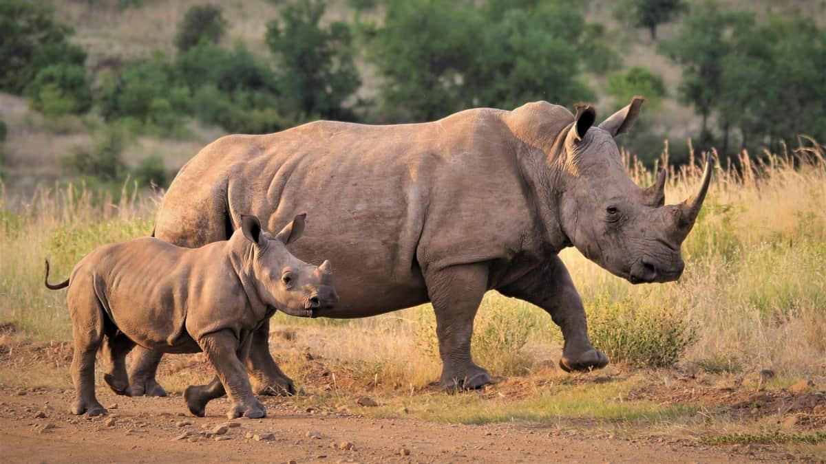 Nosorog i njegova beba šetaju