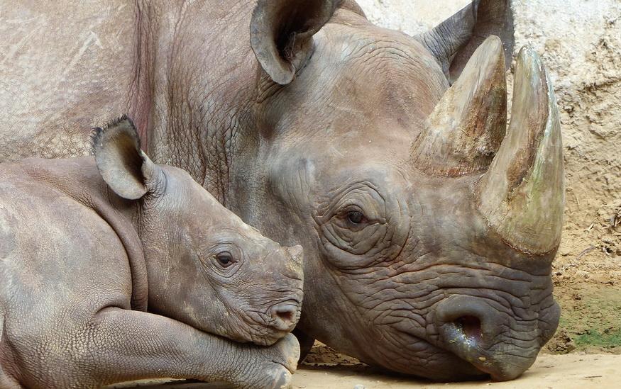 Nosorog i beba nosoroga u zoološkom vrtu