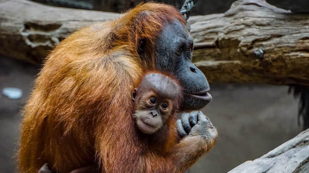 Mama organgutan drži svoju bebu u naručju