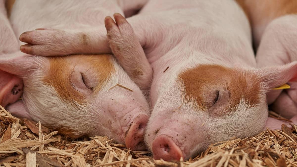 Afrička svinjska kuga preti svinjama na farmi na kojoj nema dovoljno prostora za odmor, pa svinje spavaju jedne pored drugih.