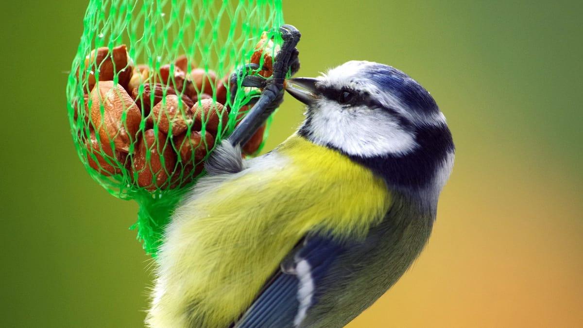 Šarena ptica jede zrnca hrane