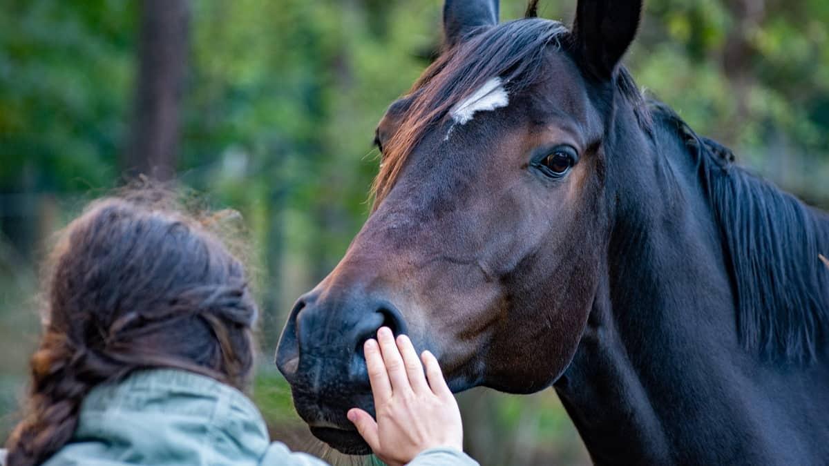 Konji i njihova pozivtivna reakcija na milovanje.