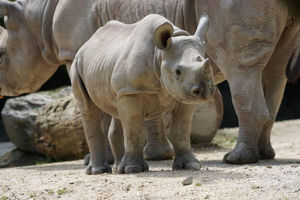 Beba nosorog sa svojom majkom