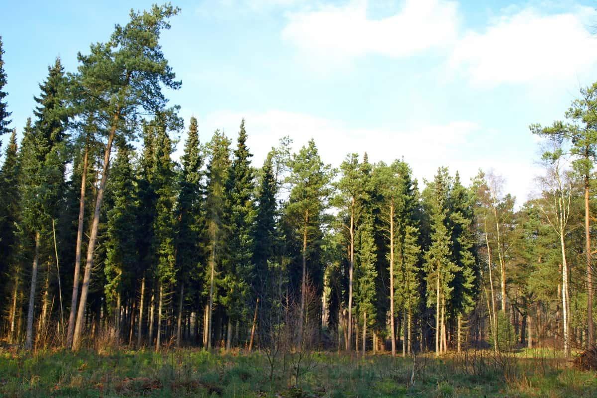 Pančićeva omorika u šumi