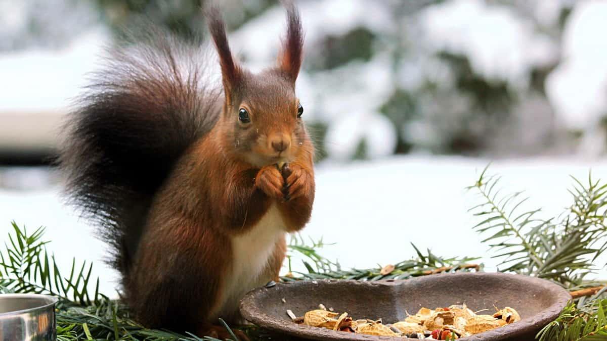 Veverica jede lešnik tokom zime