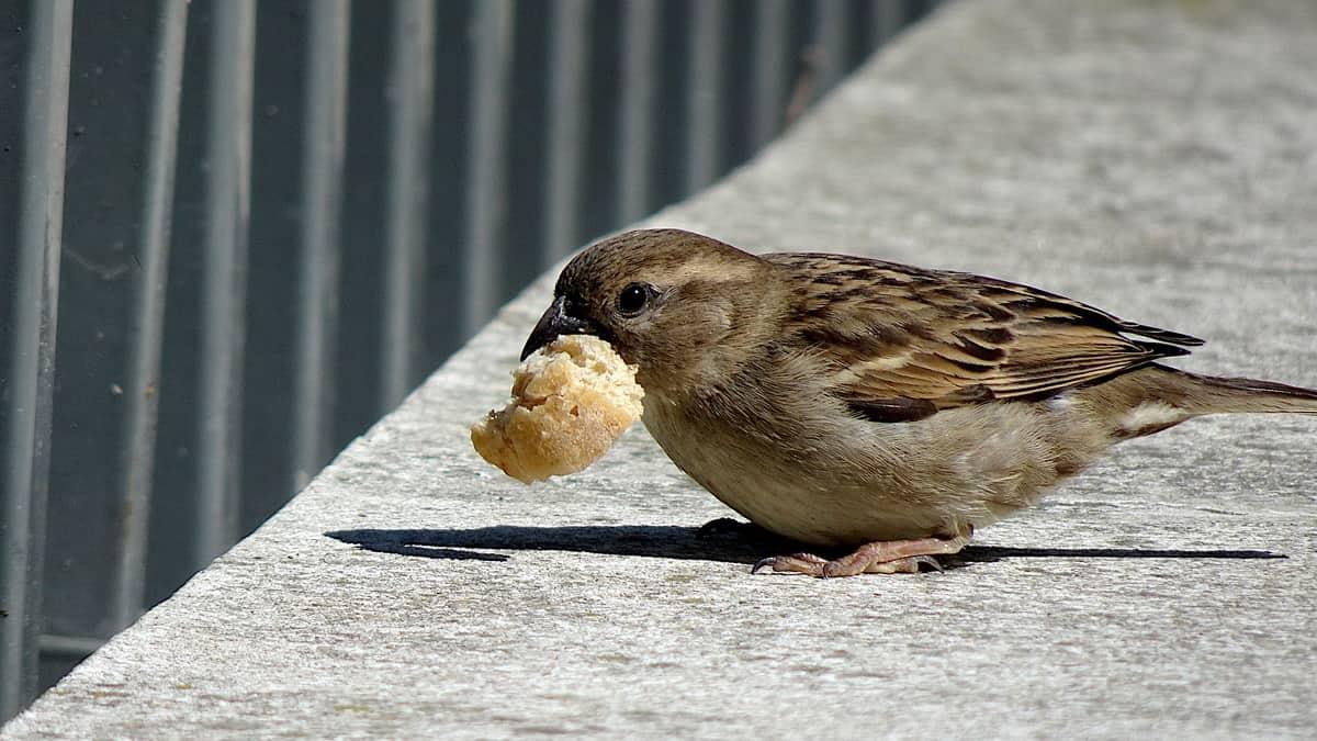 Vrabac nosi koru hleba u kljunu