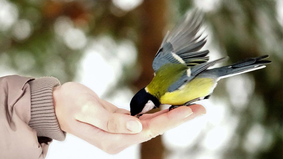 Ptica koja jede semenke iz ruke čoveka.