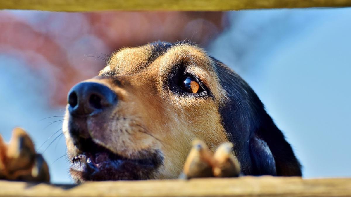 Pas na lancu i pas u kavezu. Opasan pas.
